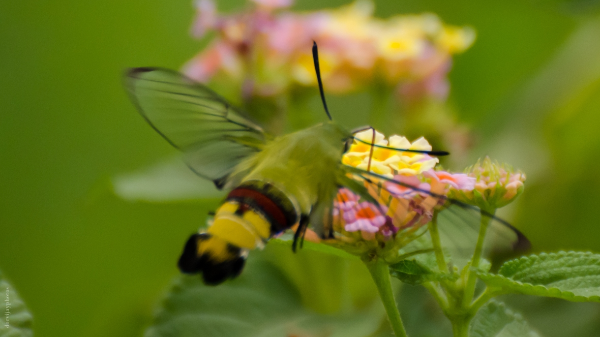 pellucid-hawk-moth-coffee-clearwing