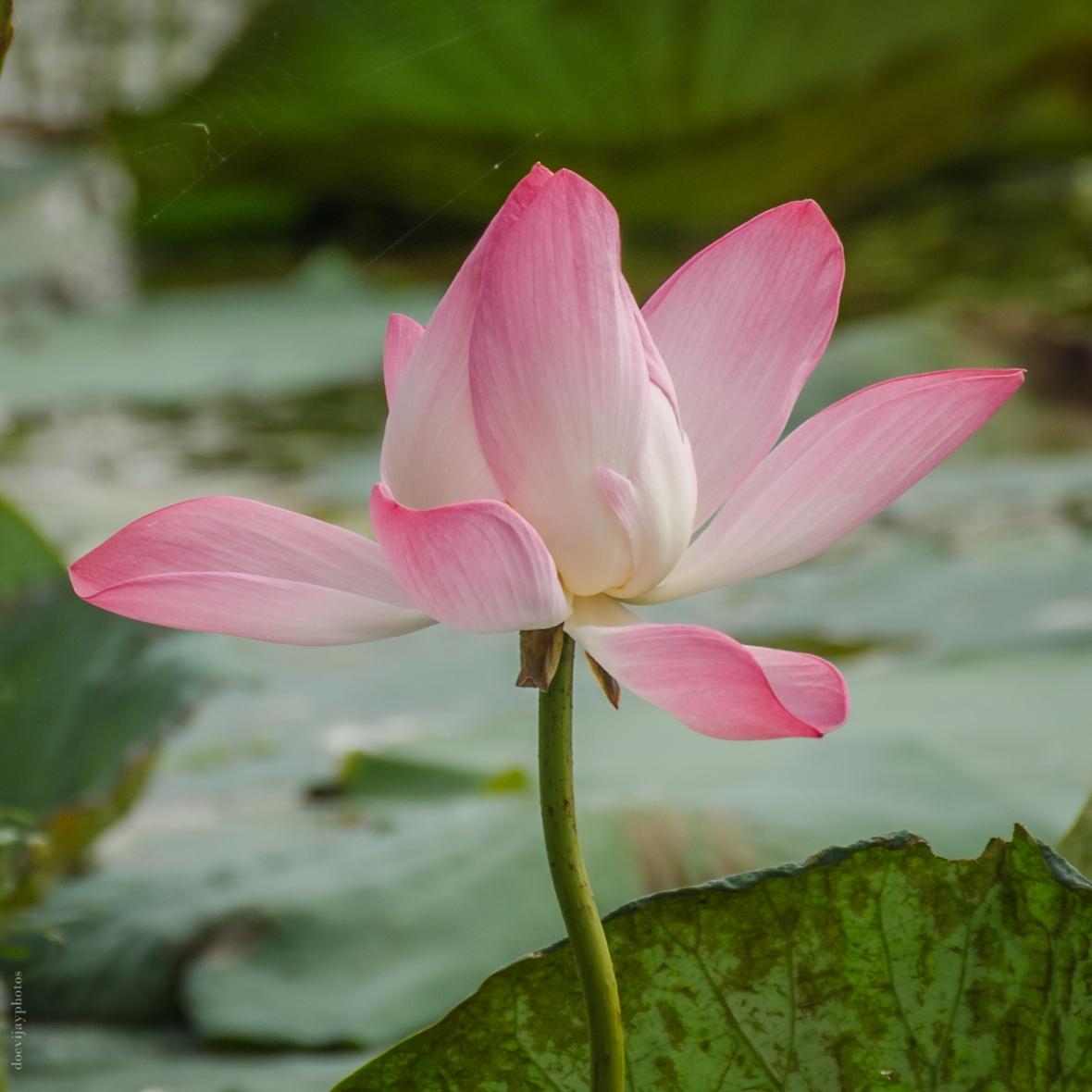 indian-lotus_dsc7179-2
