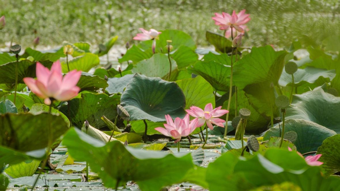 indian-lotus_dsc7182