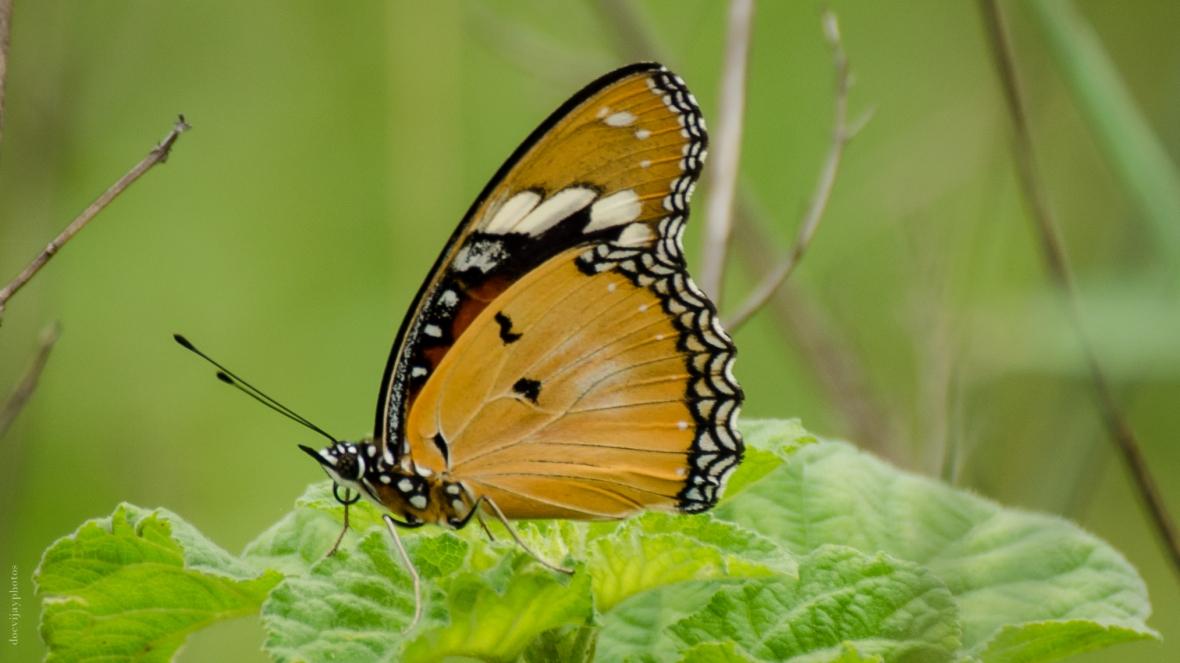 plain-tiger-butterfly-underside