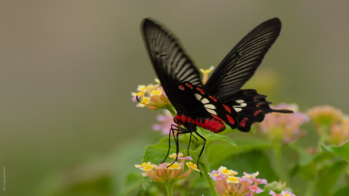 crimson-rose-butterfly-hyderabad
