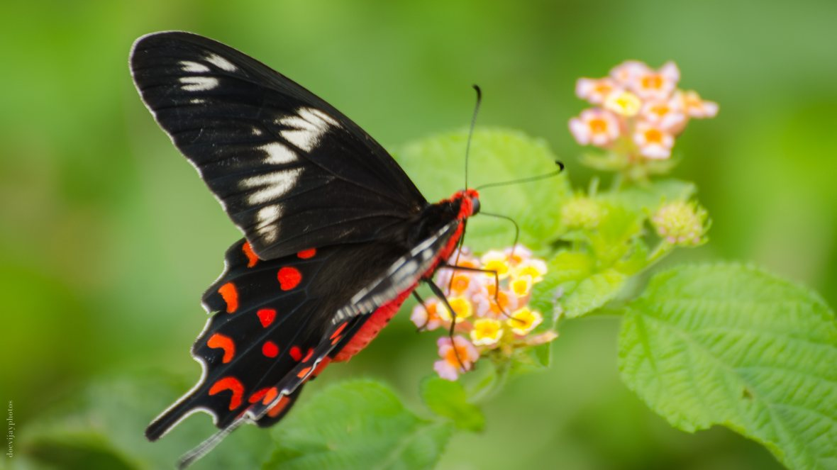 crimson-rose-butterfly-tail