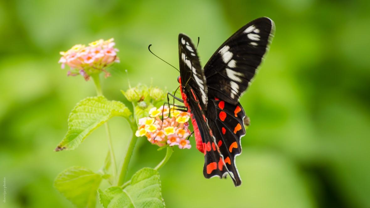 crimson-rose-butterfly