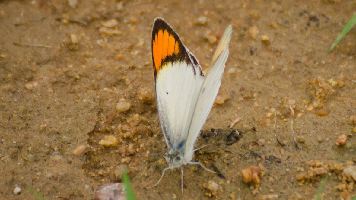 ixias-marianne-white-orange-tip_dsc5739