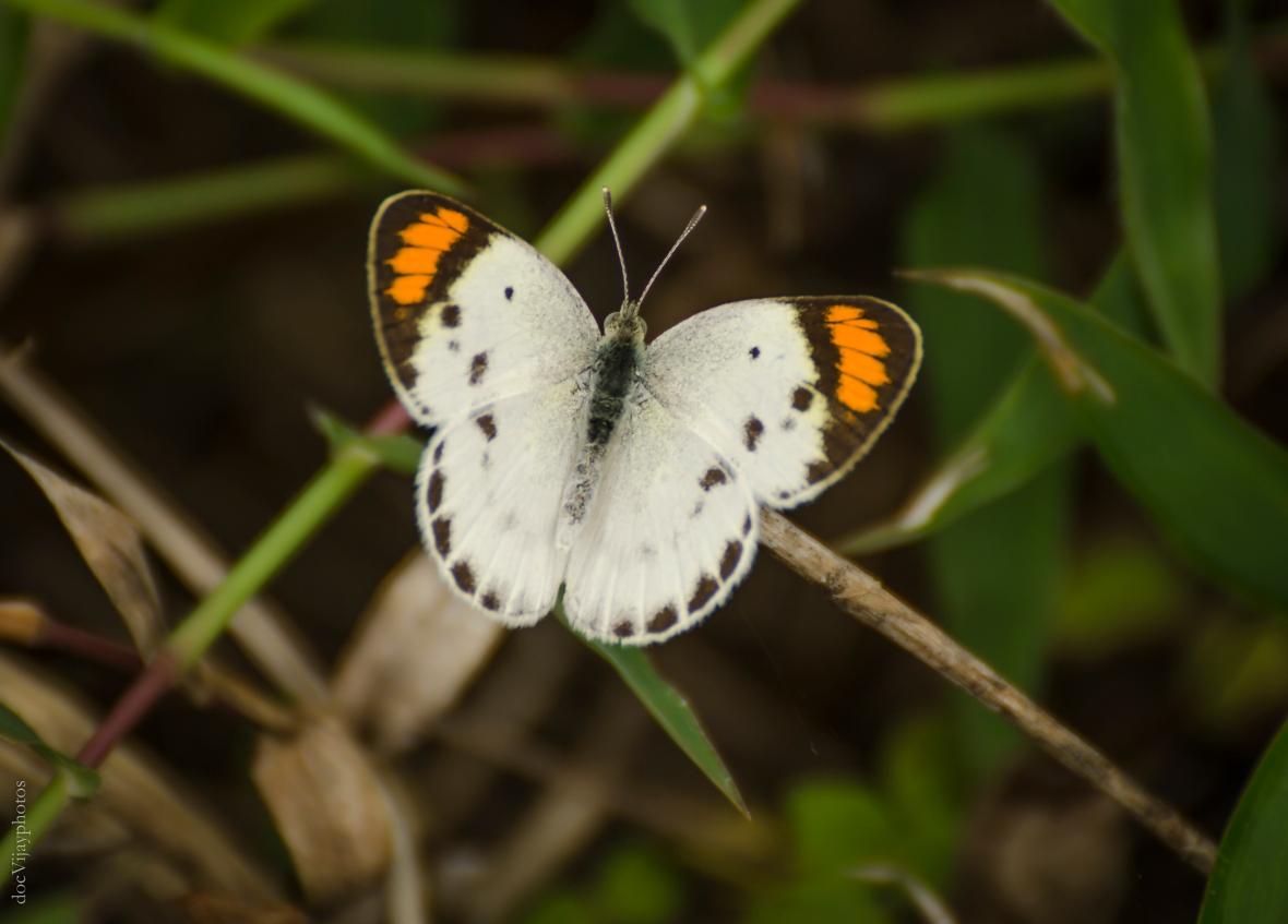 little-orange-tip-hyderabad-colotis-etrida