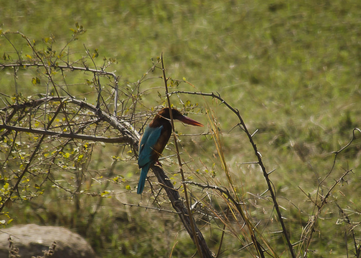 white-throat-kingfisher_dsc2468
