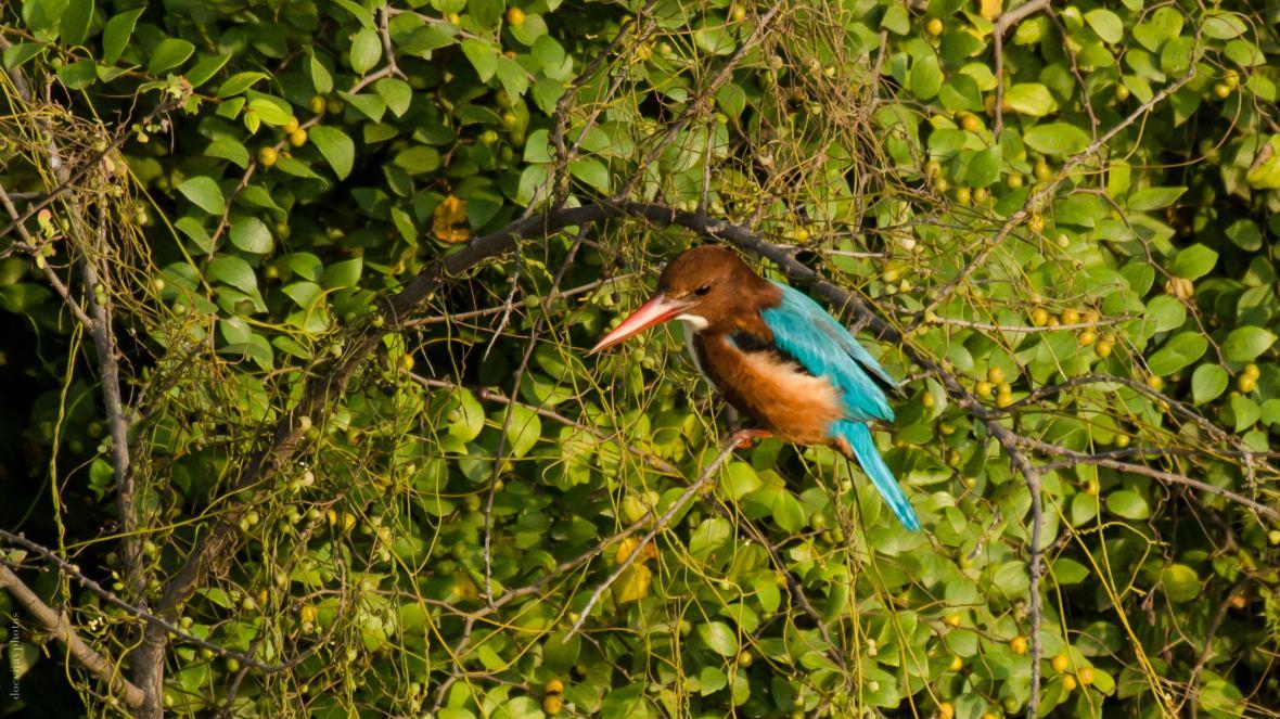 white-throat-kingfisher_dsc7379