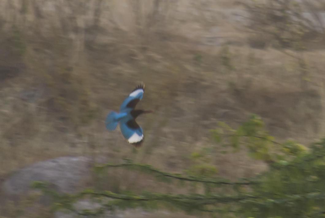whitebreasted-kingfisher-flight