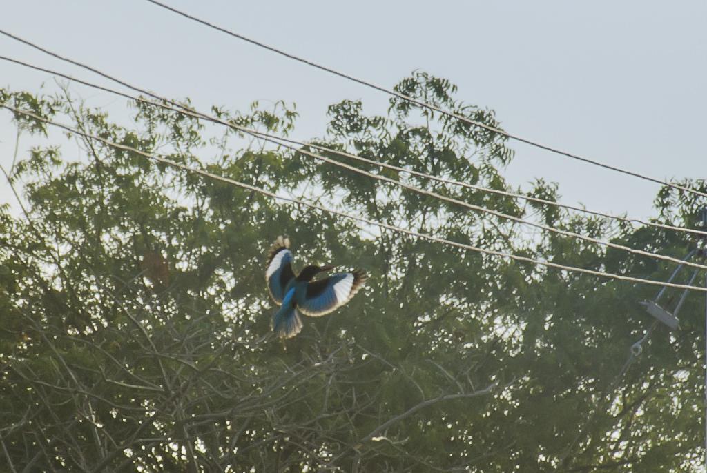 whitebreasted-kingfisher_dsc2517