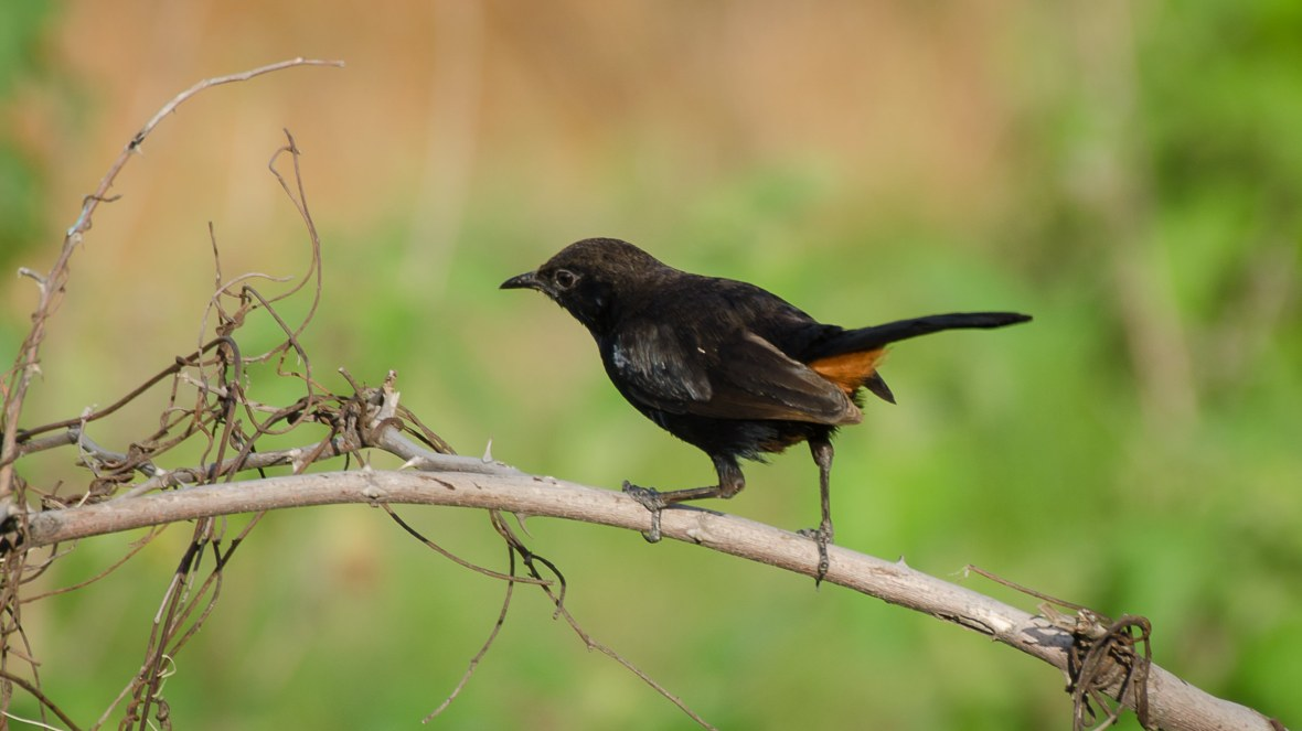 indian-robin-male_dsc5871