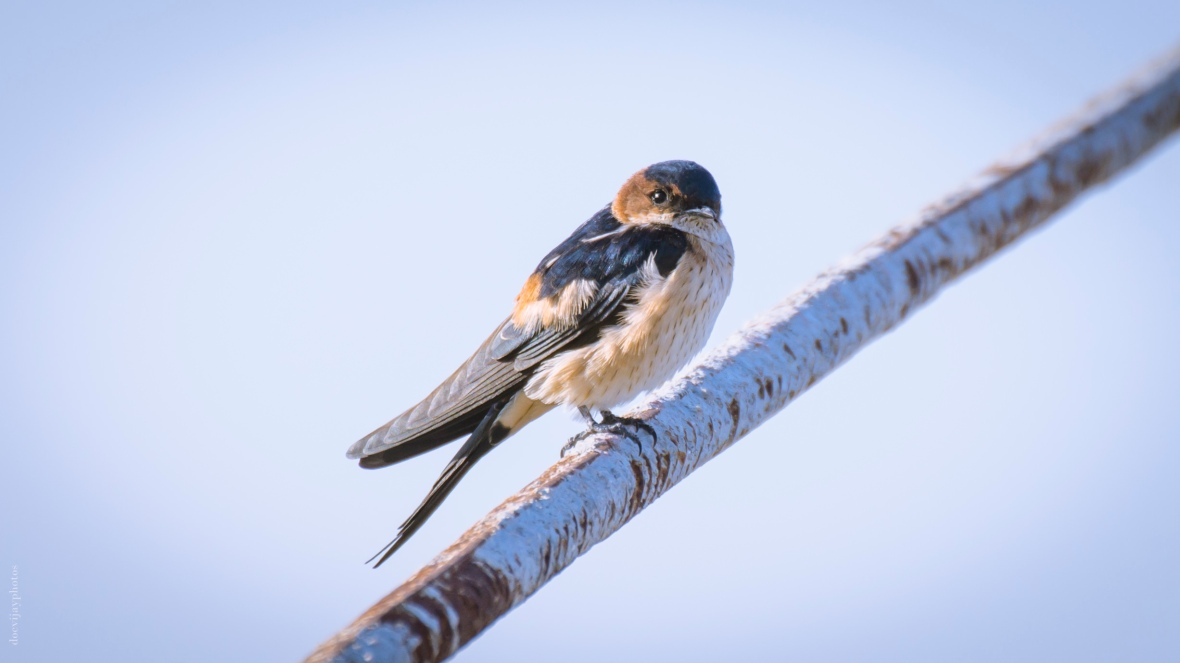red-rumped-swallow