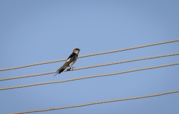 red-rumped-swallow_dsc3389