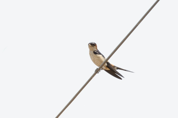 red-rumped-swallow_dsc4258