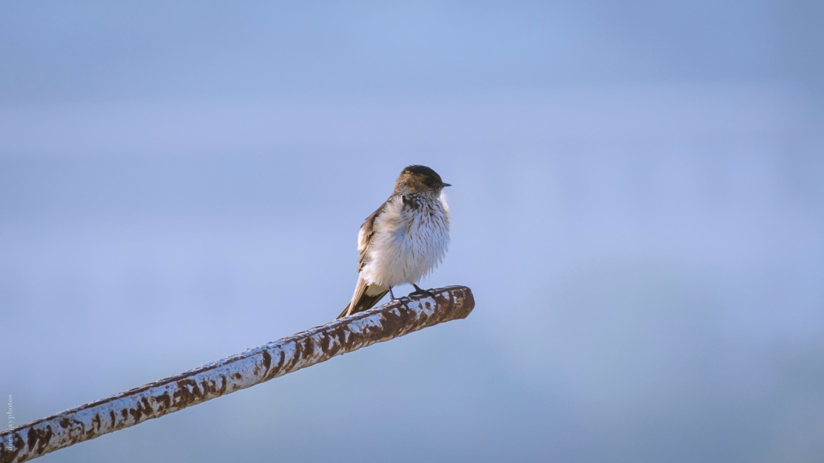 red-rumped-swallow_dsc7840